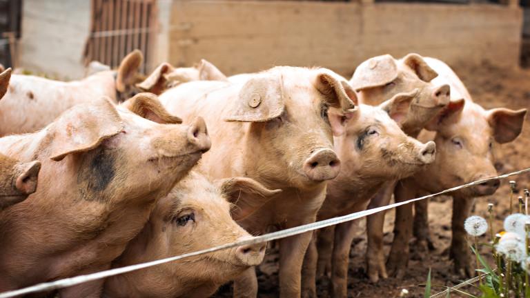 И Община Елин Пелин попадна в инфектираната зона с африканска чума по свинете