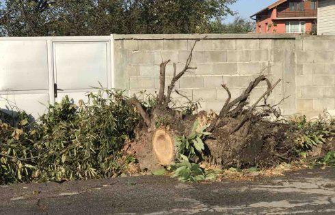 Заради предизборните напъни изкорениха куп дървета в Григорево
